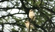 Männliches Geschlechtshormon lässt auch weibliche Vögel singen