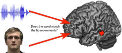An area in the left posterior superior temporal sulcus (STS) showed greater activation when mouth movements did not match the expected word.