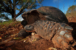 While Galapagos giant tortoises move very slowly and at a leisurely pace, they can nevertheless cover great distances.