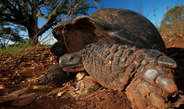 The large, dominant male Galapagos giant tortoises usually start their annual migration at the beginning of the dry season