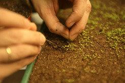 Jungpflanzen von <em>Arabidopsis thaliana</em> werden von Hand pikiert.