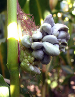 Maize as a fungal host: Ustilago maydis causes maize smut. An international research team working with biologists at the Max Planck Institute for Terrestrial Microbiology has now identified genes of the fungus implicated in the infection of the plant.