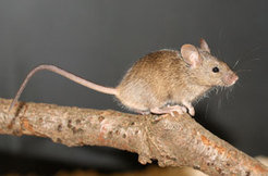 A female western house mouse (<em>Mus musculus domesticus</em>).
