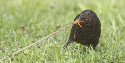 Blackbirds also find an abundant food supply in the city.