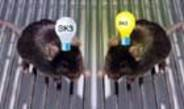 How old mice get bright again