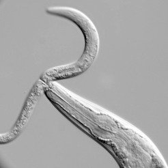 Pristionchus can prey on other worms if bacteria get scarce. Here C. elegans is the prey.