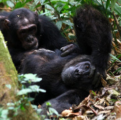 The Sonso group in the Budongo Forest, Uganda: two male chimpanzees grooming each other, a very intimate behaviour based on trust.