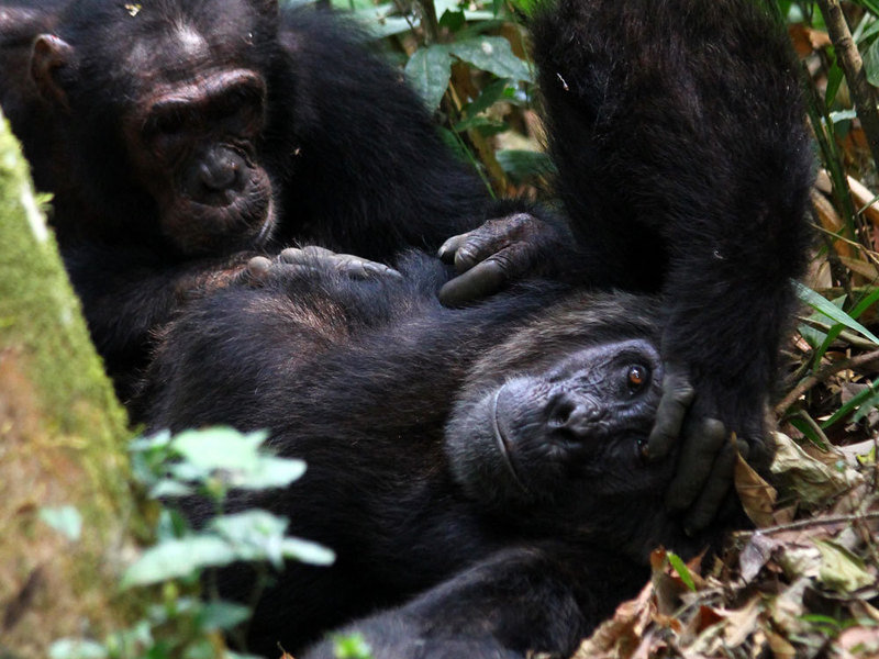 the sexual relations between the humans and primates Sex there are reports of humans keeping a female orangutan as a sex   intercourse with just about any mammal, including apes and other primates that.