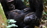 Researchers found that in chimpanzees the hormone oxytocin is likely to play a key role in maintaining social relations with both kin and non-kin coop