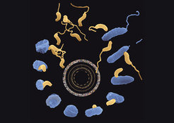 Life cycle of the predatory bacterium Bdellovibrio bacteriovorus (yellow). For reproduction it depends on a bacterial prey cell (blue).