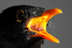 <p>Towns and cities are the habitat of many species. The European blackbird (<i>Turdus merula</i>) is one of the most successful bird species to have colonised urban areas.</p>