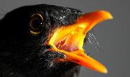 Stadtvögel werden bei nächtlicher Beleuchtung früher paarungsbereit als ihre Artgenossen auf dem Land