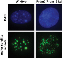 <strong>Abb. 3:</strong> <strong>Ohne Prdm3 und Prdm16 bricht das Heterochromatin zusammen. </strong>In Wildtyp-Mausfibroblasten liegt das Heterochrom