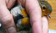 Jungvögel müssen sich vor dem ersten Vogelzug auf ihren genetisch angeborenen Kompass verlassen