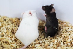 <p>Intruder alert! The black mouse is being placed in the white mouse's territory for five minutes, which causes the stress levels of the incumbent white mouse to rise.</p>