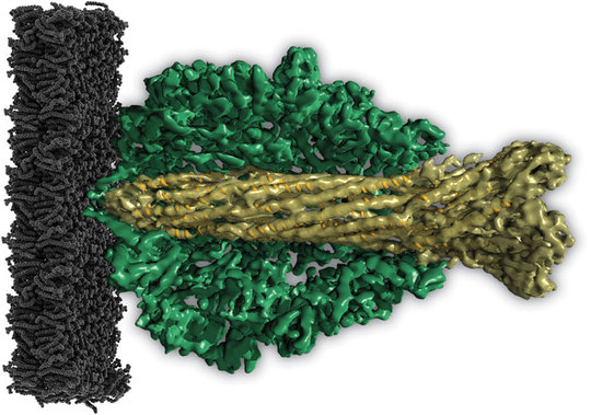 Molecular vuvuzela: The central channel of the TcA proteins (light green) is shaped like a vuvuzela horn, the South African musical instrument (dark green: outer shell, black: cell membrane of the host cell).