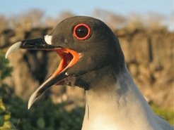 "The swallow-tailed gull is endemic to the Galapagos Islands. During the daytime, these seabirds stay in their nests. At night, they fly off to hunt on the open sea.<span class=""st""><em> </em> </span>"
