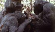 Max-Planck-Forscher bestätigen Freilandbeobachtungen zum Jagdverhalten und Fleischkonsum erwachsener männlicher Schimpansen mittels Isotopenanalyse