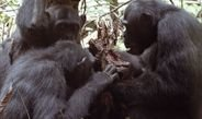 Max Planck researchers find stable isotope evidence of meat eating and hunting specialization in adult male chimpanzees.