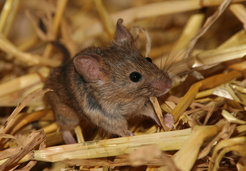 "Mice communicate with each other using ultrasonic vocalizations. This ""mouse song"" expresses individuality and kinship, especially in male mice. Later in life, individual mice prefer to mate with mice that speak the same language they do."