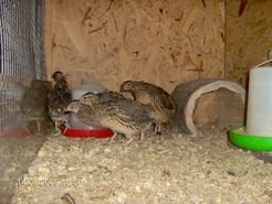 In fights between rivalling male quails, the presence of an audience directly influences the future success of the animals involved in the fight.