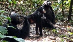 Chimpanzees gazing up tree crowns in their search for fruit.