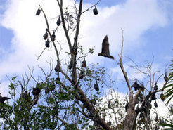 Daytime roost of a flying fox colony in a tree. Resting individuals are hanging on branches upside down and wrapped in their wings. There also is some flight activity.