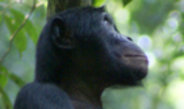 High social status and maternal support play an important role in the mating success of male bonobos.