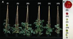 A) Tomatenpflanzen und B) Früchte von leicht untereinander zu kreuzenden Varianten der Tomatenart Solanum Lycopersicum . Die verschiedenen Wildtomaten
