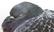 Pigeons prevented from taking naps in the afternoon sleep more intensely at night.