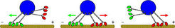 A blue cargo is transported by two teams of molecular motors moving along the yellow microtubule. The red team of motors is pulling to the right towards the positive end (+), while the green team is pulling to the left towards the minus end (−). When both teams pull (in the center), they cancel each other out so the cargo hardly moves forwards. As soon as one team gains the upper hand, it moves quickly as the opposing motors are removed from the microtubule.