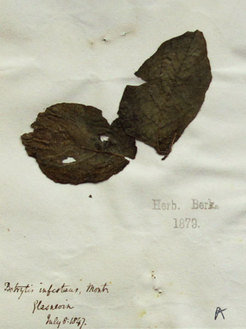 "A potato specimen from the Kew Garden herbarium, collected in 1847, during the height of the Irish famine. The legend reads ""Botrytis infestans"", because it was not known yet that Phytophthora does not belong to the mildew causing Botrytis fungi."
