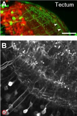 (A) A cell type in the tectum, made visible using a green fluorescent protein, highlights the layering of this visual centre. (B) The same cell type as in (A), but labeled with a calcium-sensitive protein.
