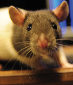 Rats process visual information from their eyes similar to other mammals. Nevertheless, their eyes move in a very different way. Unlike humans, their eyes can move in opposite directions.