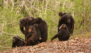 Researchers found that adult wild chimpanzees have developed a certain immunity against malaria parasites