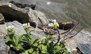 Alpen-Gänsekresse blüht nur, wenn sie das richtige Alter hat und zuvor Kälte ausgesetzt war