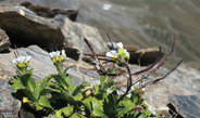 Alpine rock cress uses a ribonucleic acid to measure its age and tell when it's the right time to flower.