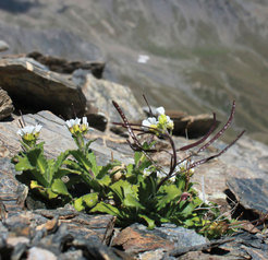 The Alpine rock cress (Arabis alpina) grows up to 10-40 cm tall and is to be found in Alpine regions up to 3,300 metres. The perennial plant requires exposure to a cold period and the right age to flower.