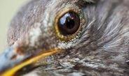 Blackbirds' biological rhythms are altered in an urban setting.