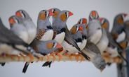 Young zebra finches are able to learn their fathers' song via their brothers.