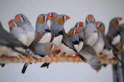 "Singing siblings: zebra finches that grew up without their dads and therefore without a ""song model"", don't have to worry about having no singing repertoire. As researchers discovered, the birds can also learn their song through their brothers."