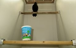 Behavioural experiments on urban and forest-dwelling blackbirds. Urban blackbirds wait longer than their forest-born counterparts before approaching a new object (in this case, a plastic cup).