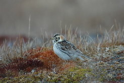 The Lapland longspur breeds across Norway, Sweden, and Northern Russia. In the summer, the birds feast on the swarms of midges that visit the Tundra in the summer months. In the winter, their diet consists of plant seeds.