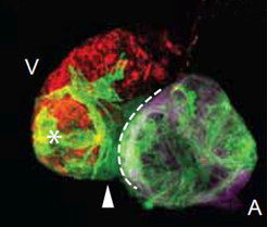 Heart muscle cells from the atrium repair the damaged ventricle: 96 hours after the ventricle was damaged, a large number of atrium cells (green) migrated from the atrium (A) into the ventricle (V). Together with the surviving muscle cells of the atrium (red), the ventricle can mostly function again.