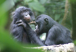 Bonobo man Jack grooms female Susi in Salonga National Park in the Democratic Republic of the Congo.