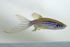 The zebrafish (Danio rerio) is a popular model organism for many questions in the field of genetics and developmental biology.