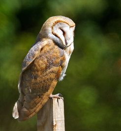 Like most owls, the barn owl <em>(Tyto alba)</em> sleeps during the day and hunts at night. The black spots on its feathers are related to various met