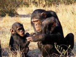 Just like in humans, chimp mothers play a crucial role in the development of social skills in their offspring.