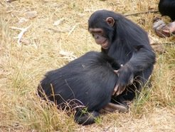 Playtime! While motherless chimpanzees engaged in social play more frequently than chimps that were reared by their mothers, it more often led to aggression.