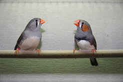 Environmental factors considerably determine song characteristics of adult zebra finches.